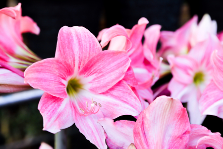 Lilies pink flower Stock Photo