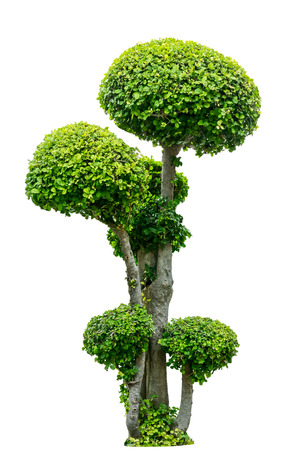 Bonsai tree isolated on white background Stock Photo