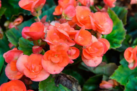 RedOrange begonia flowers in garden Stock Photo