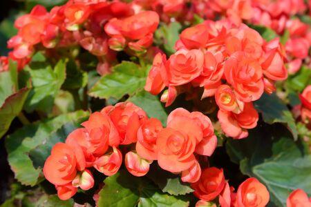 RedOrange begonia flowers in garden Stock Photo