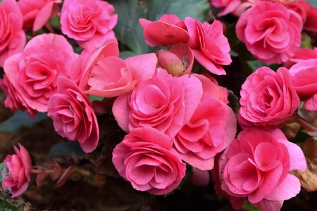 Pink begonia flowers in the garden