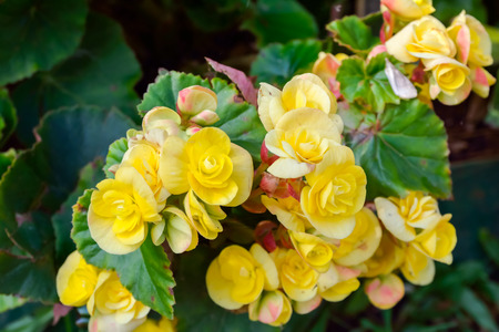 yellow begonia flowers in the garden
