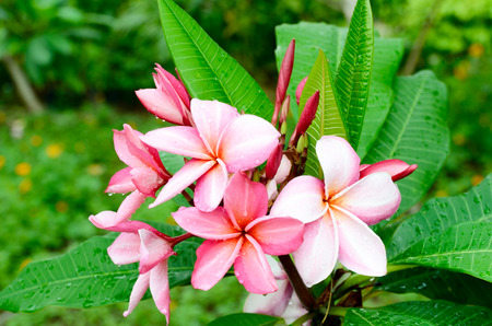 fresh tropical red plumeria flower in garden Stock Photo