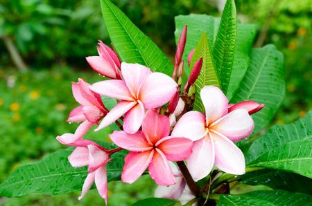 fresh tropical red plumeria flower in garden Stock Photo