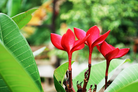 Bunch of red frangipani plumeria flowers close up Stock Photo