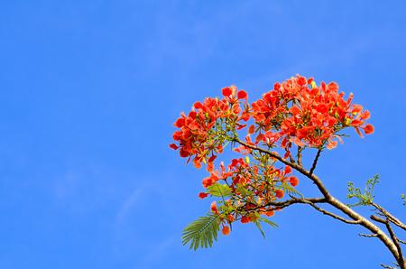 Flamboyant flower with cloudy sky (Delonix regia)
