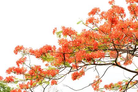 Flamboyant flower  (Delonix regia) Stock Photo