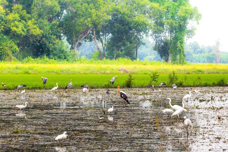 Javan pond heron (Ardeola speciosa) in Pathum Thani, Thailand Stock Photo