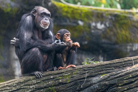 De jonge chimpansee hangt en zit naast de dierentuin Taipei van de chimpansee in Taiwan