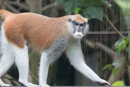 Patas Monkey at ZooTaipei in Taiwan Stock Photo