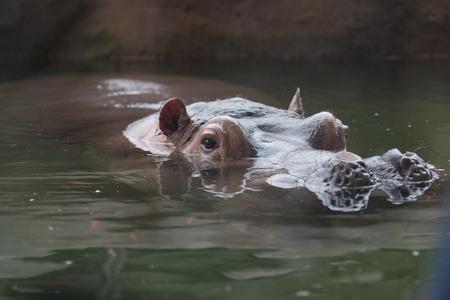 Hippopotamus in a Taipei Zoo, Taiwan