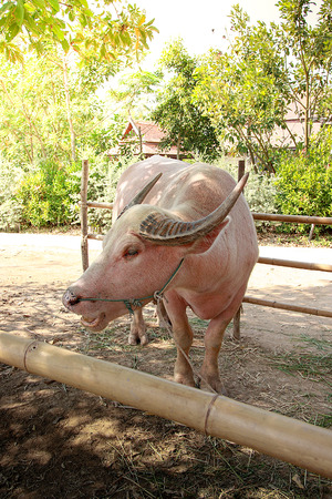 taro buffalo with rope on the nose, in the Thailand farm.
