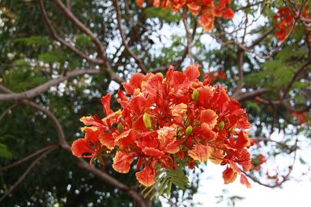 Close up Red Flamboyant flower, Flamboyant, Peacock Flower, Royal Poinciana