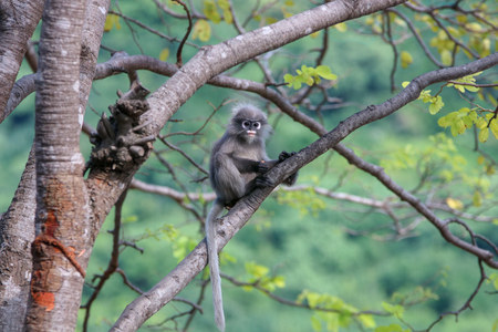 Trachypithecus obscurus sitting on a stump looking