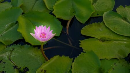 The Pink  Lotus flower in pond