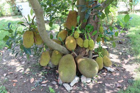 Jackfruit tree with lots of jackfruits hanging. healthy food concepts
