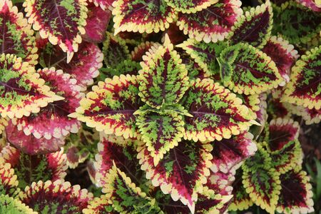 Red and green leaves of the coleus plant, Scientific name is Coleus Фото со стока