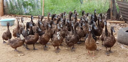 Group of duck walk on the farm. are fed to animals as economic to store eggs and meat for cooking Фото со стока
