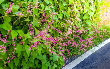 Pink Mexican Creeper at the wood fence.