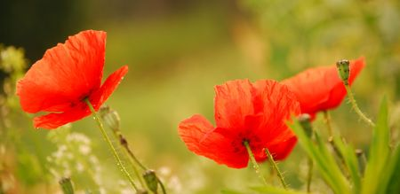red poppies on green field Stock Photo - 5610401