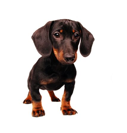 Dachshund puppy isolated on white  Stock Photo