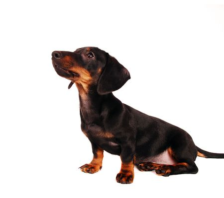cur: Dachshund puppy isolated on white  Stock Photo