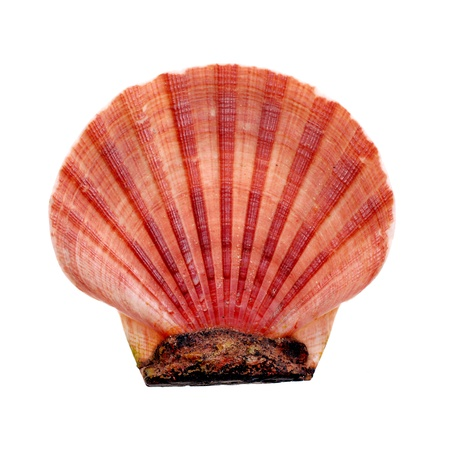 conchas: concha de mar sobre fondo blanco