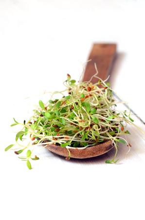 Freschi germogli di erba medica verde.