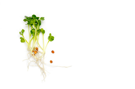 Alfalfa sprouts on white background. Raw sprouts, microgreens, healthy eating concept