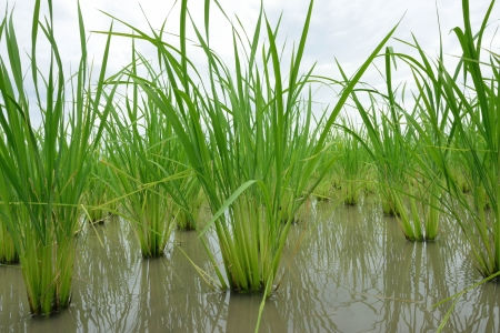 Young rice plants in rice field Stock Photo - 15440652