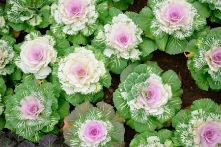 green and purple ornamental cabbage in the garden photo