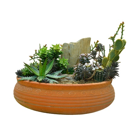 cactus in a pot isolated photo