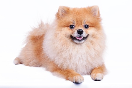pomeranian dog isolated on white background photo
