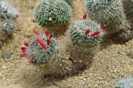 Mammillaria sp., cactus grows in sand photo