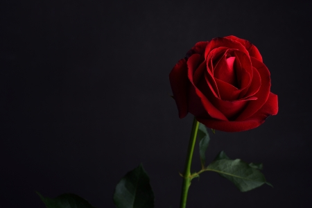 single red rose: red rose on black background