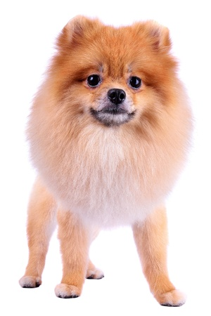grooming lion dog hair, pomeranian dog isolated on white background photo