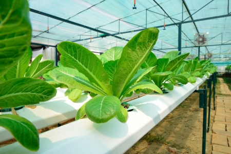 hydroponics green vegetable in farm, green lettuce photo