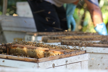 Working apiarist and frame with bees photo
