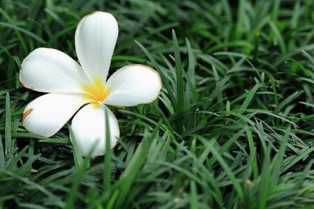 sere: white frangipani plumeria flower with green grass background