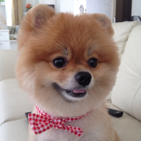pet grooming: Pomeranian dog grooming bear style, cute pets