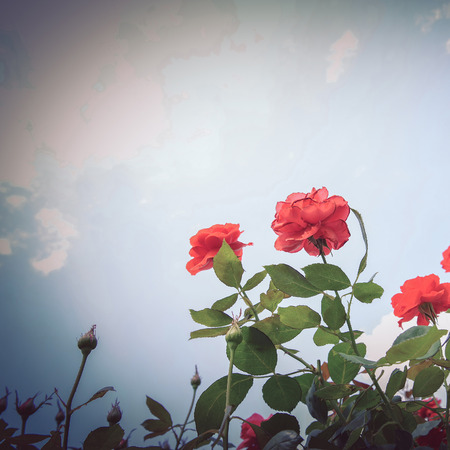 red rose in garden, mood and tone classic image photo