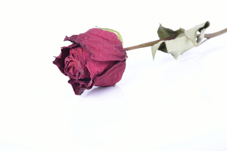 dry rose isolated on white background photo