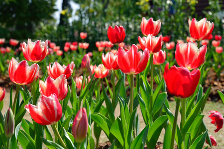 Beautiful red tulip flower, tulip in the garden field