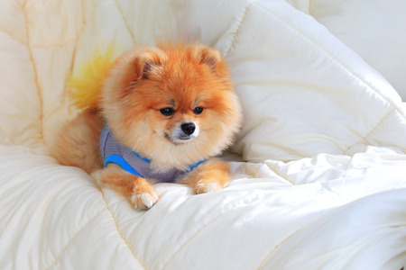 cute pet in house, pomeranian grooming dog wear clothes on bed at home photo
