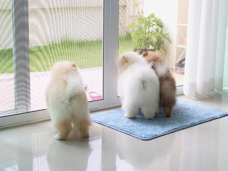 three pomeranian puppy dogs in home looking for the owner, pets in house Stock Photo