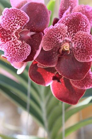 suspensory: purple orchid flowers in garden