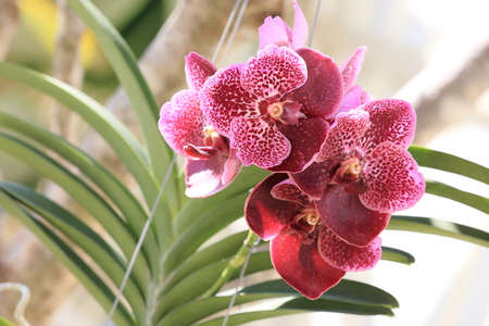 suspensory: purple orchid flowers in garden