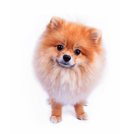 cute pet, pomeranian puppy dog isolated on white  photo