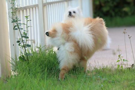 peeing: cute pet, pomeranian dog peeing on grass in the garden Stock Photo
