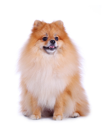 cute pet, brown pomeranian grooming dog isolated on white  photo